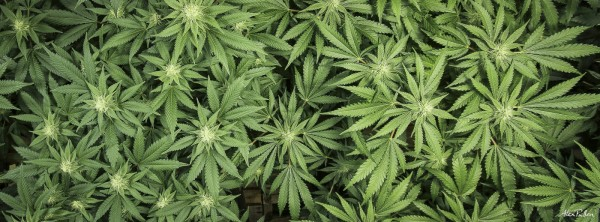 Colorado Medical and Recriational Marijuana Plants