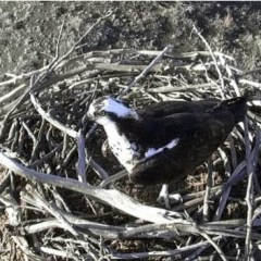 Webcam Installed on Lake Capote Osprey Nest