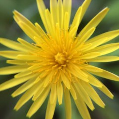 31 Uses for Dandelions