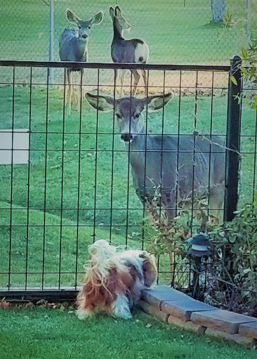 bailey deer