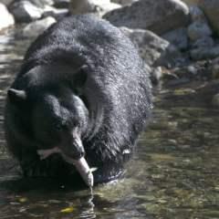 Colorado woman killed in rare black bear attack, authorities say