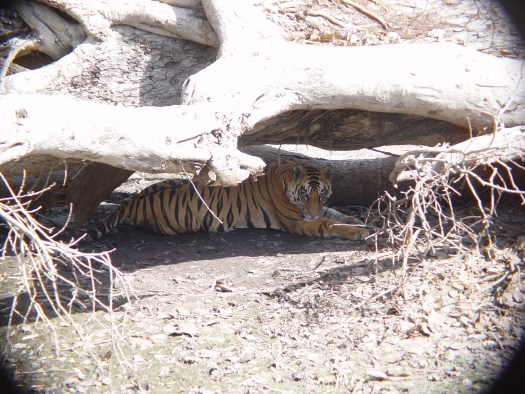 TigerunderLog1