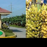 TADECO: DAPECOL BANANA FARM DEAL LEGAL, ADVANTAGEOUS TO GOVT