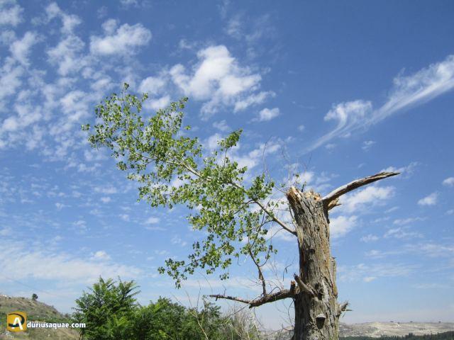 Durius Aquae: árbol partido