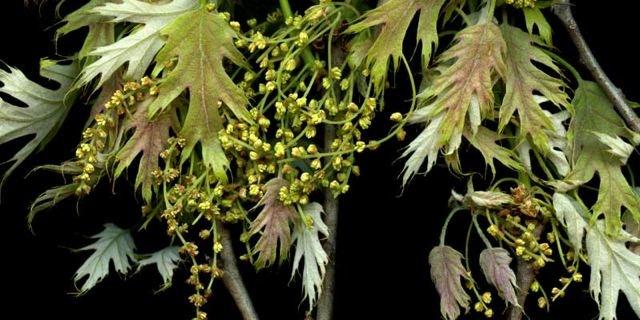 Baby Red Oak Leaves