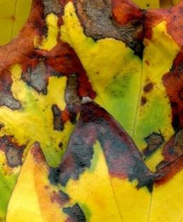 Leaves After Gorky
