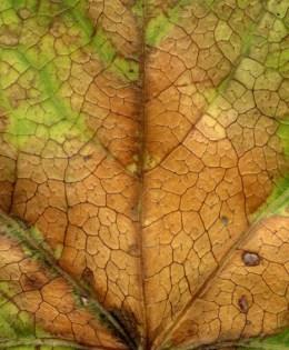 Leaf after Monet
