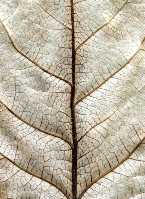 White Leaf After Klee