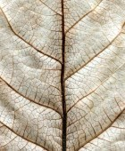 Leaf After Klee