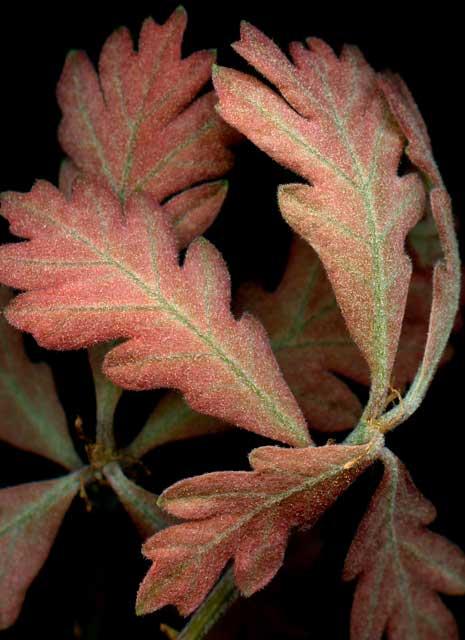 Leaves after Raphael