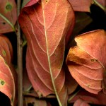 Leaves after Siqueiros