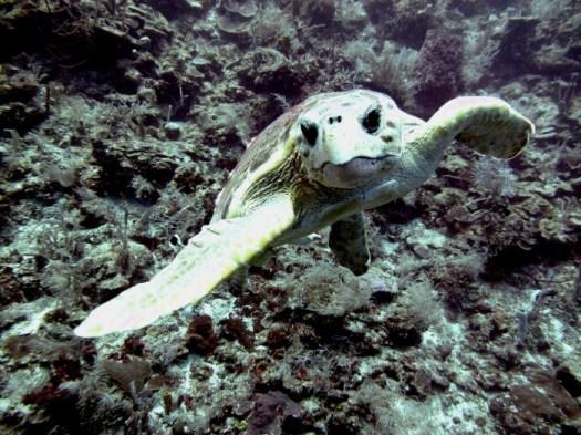 Loggerhead_turtle_Belize_R_Cosgrove