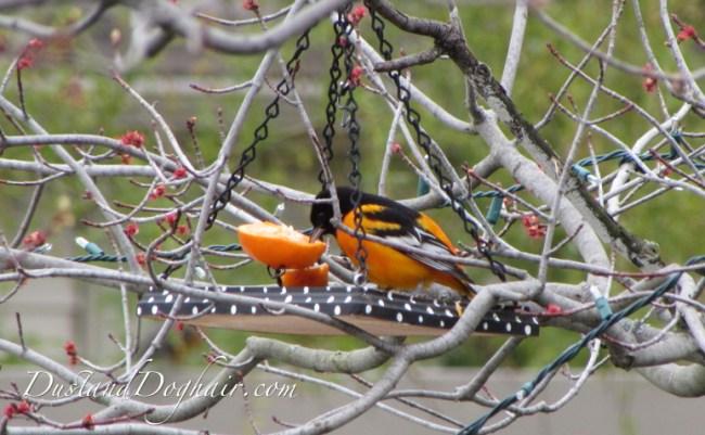 Baltimore Oriole Orange Feeder