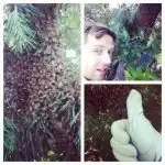 Dustin Bajer swarm catching honeybees in Edmonton, Alberta.