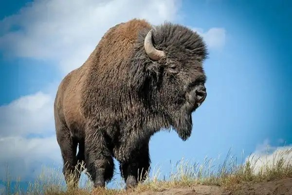Worlds Best Lawn Mower. Bison and other large herbivores co-evolved with grasses.