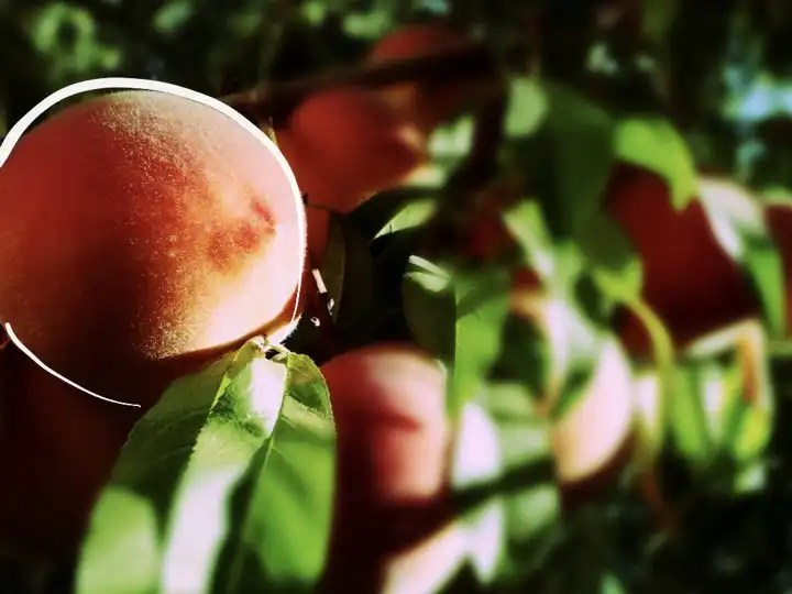 Just outside of Edmonton's growing conditions - the 'resilient' peach.