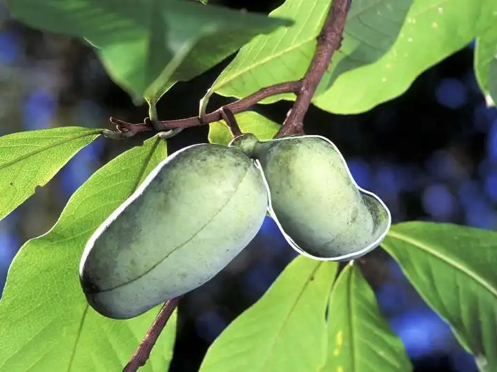 Just outside of Edmonton's growing conditions (zone 4a) - the largest fruit native to North America - the Pawpaw (zone 5).