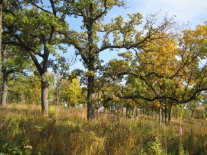 Bur-oak-savanna-fall