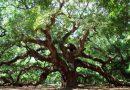 Ben Bir Meşe Ağacıyım Anadolu Bozkırında