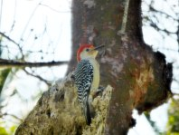 Busy red-bellied woodpecker
