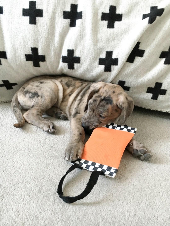 New Puppy Freyja The Daniff | Dutchie Love