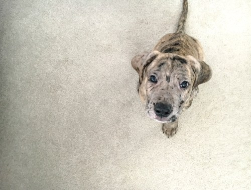New Puppy Freyja The Daniff   Dutchie Love
