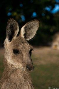 Kangaroos-4
