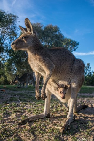 Kangaroos-6