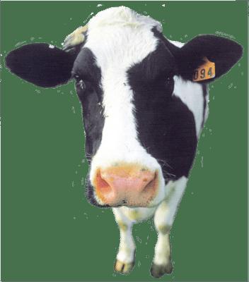 À propos des vaches