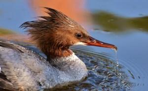 A merganser fish duck