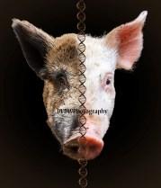 Hybride pig