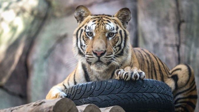 """ISTANBUL, TURKEY - OCTOBER 22: A bengal tiger is seen at the Lion Park of Tuzla Viaport Marina in Istanbul, Turkey on October 22, 2020. White lion """"Pamuk"""" meaning Cotton and Toby the Bengal Tiger grew up together at the zoo, spending most their times together. (Photo by"""
