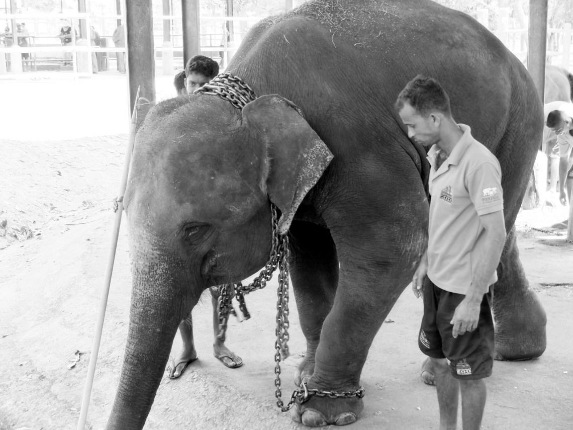 Słoń popędzany do pracy // Pinnawala
