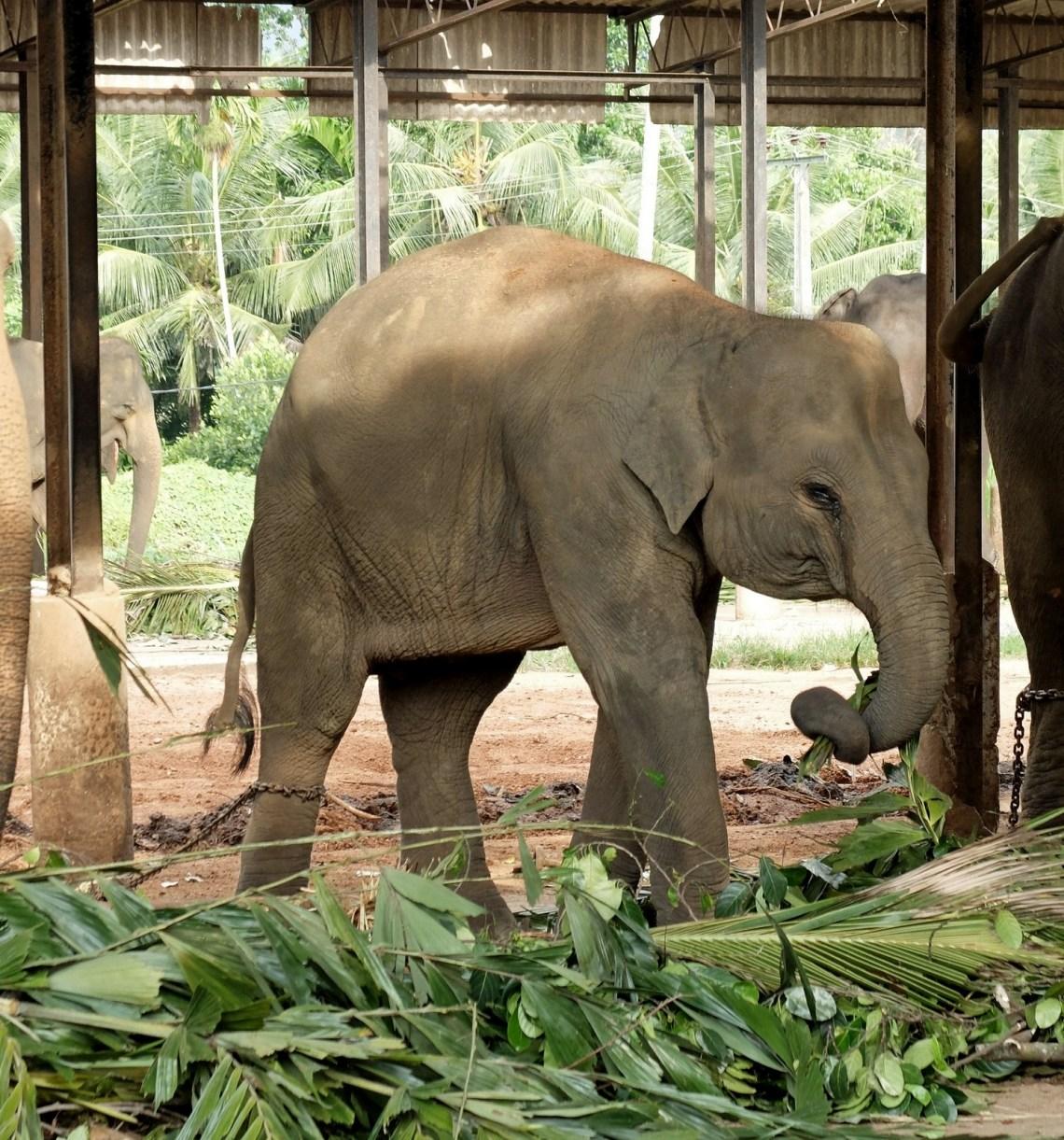 Pinnawala - słoń przy pracy. Łza czy chore oko?
