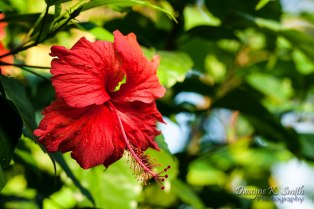 Back yard hibiscus
