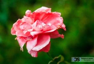 Le-Rose-2