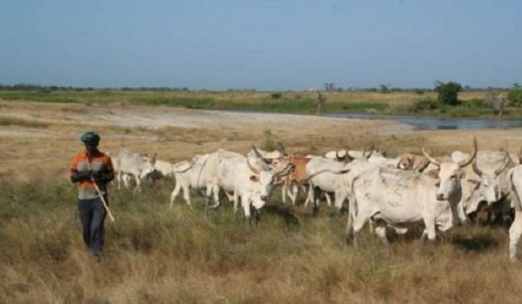 Les prix des boeufs en baisse au Cameroun - Cameroun : Le bœuf désormais à vil prix dans le nord