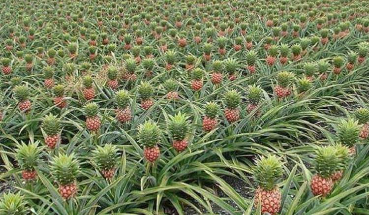 Cuture dananas - Ananas : La Guinée équatoriale bientôt de retour en France