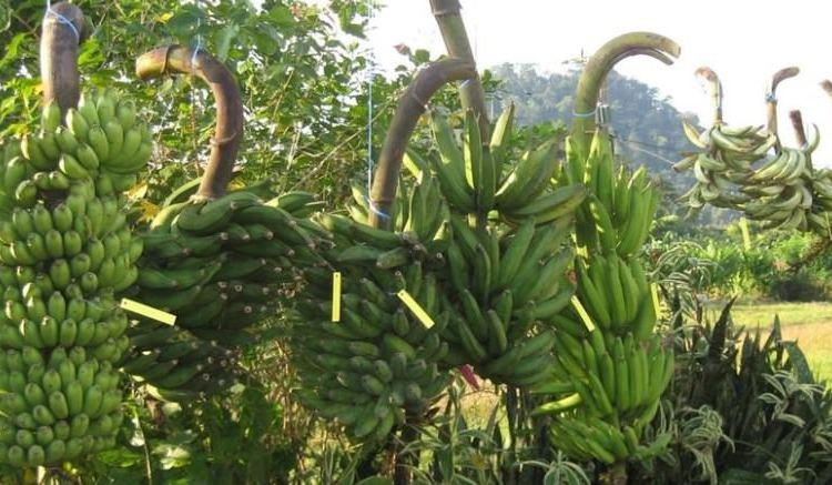 La banane produit par Afruibana - « Afruibana joue un rôle essentiel entre l'Afrique et l'Europe » selon Joseph Owona Kono