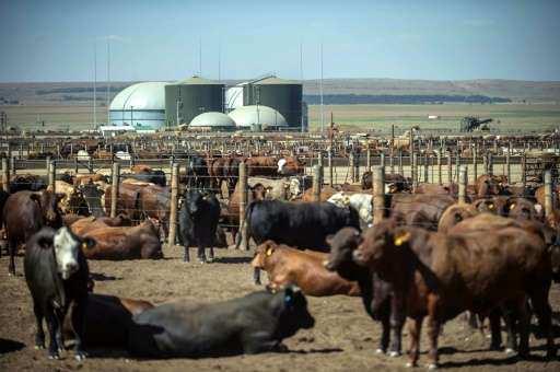 Afrique du Sud : une entreprise fabrique de l'électricité avec de la bouse de vache