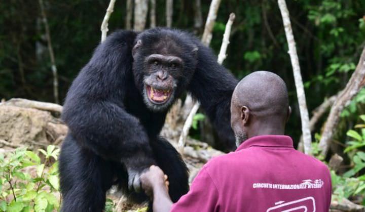 Ponso, dernier survivant de l'île aux chimpanzés en Côte d'Ivoire (MAGAZINE)
