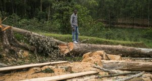 L'Industrie Forestière du Congo accusée d'exploitation illégale de la forêt par une ONG