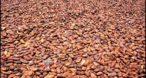 Filière Cacao: Le Ghana attend 850 000 tonnes pour la campagne 2018/2019