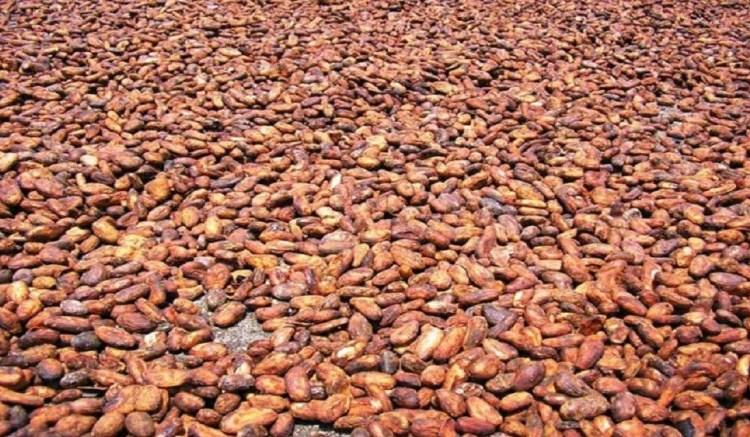 SERVE CACAO - Filière Cacao: Le Ghana attend 850 000 tonnes pour la campagne 2018/2019