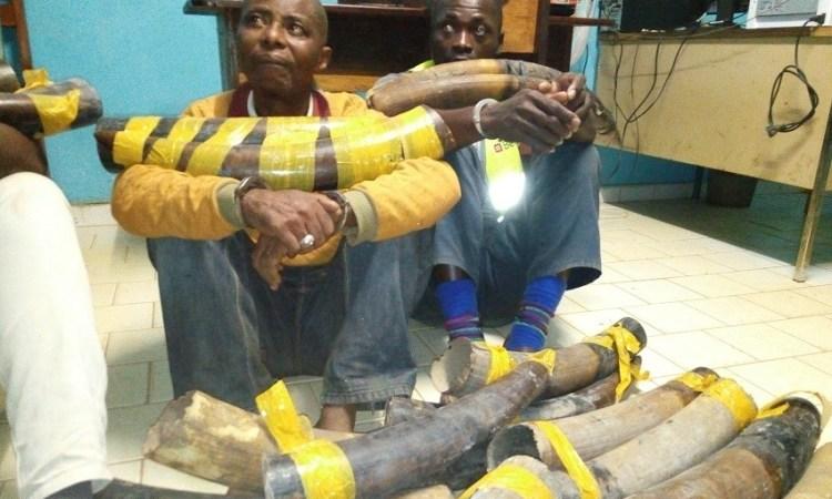 Gabon / Trafic d'ivoire : Deux individus alpagués à Makokou