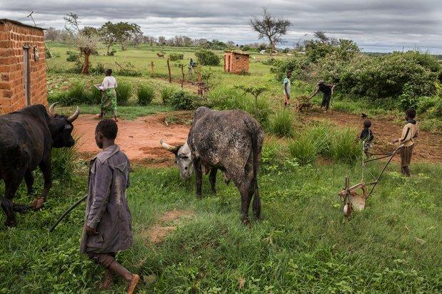 En Afrique australe touchee de plein fouet par la crise - En Afrique australe touchée de plein fouet par la crise climatique, des hommes et des bêtes aux abois