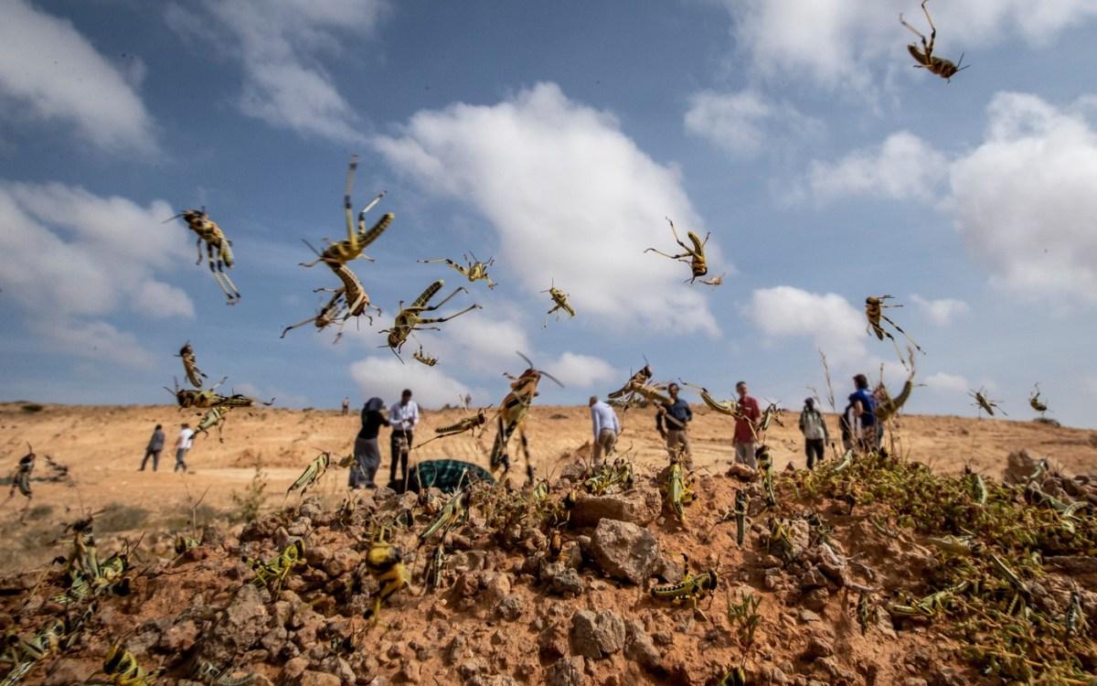 criquets - Afrique: Le fléau biblique qui frappe l'Afrique de l'est va s'aggraver