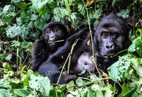 RDC : Les bienfaits d' «Alliance Virunga» pour le Nord-Kivu