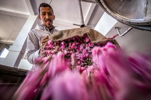 11509967 - AuMaroc, le dur labeur des cueilleuses de roses