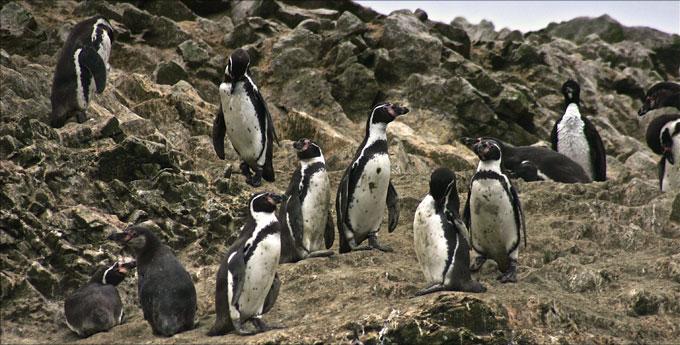 paracas_pingouins